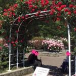 【金沢5月デート】「冨樫バラ園120種1800本のバラが圧巻!」5月末まで見頃おすすめ!