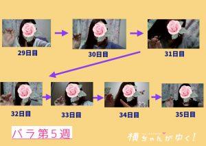 薔薇5週目